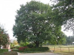 Volwassenfase van een boom begeleiden